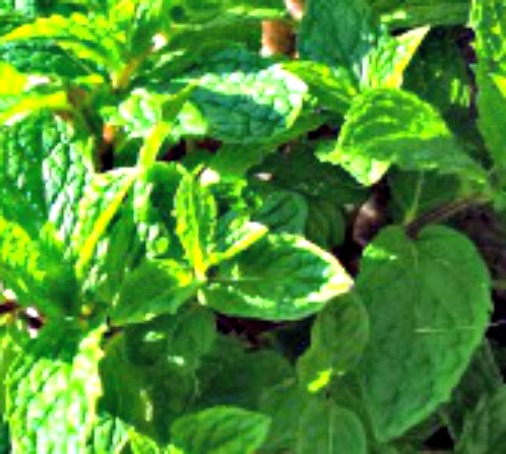 How to Make Fresh Homemade Mint Syrup ~ a Minty Taste Treat